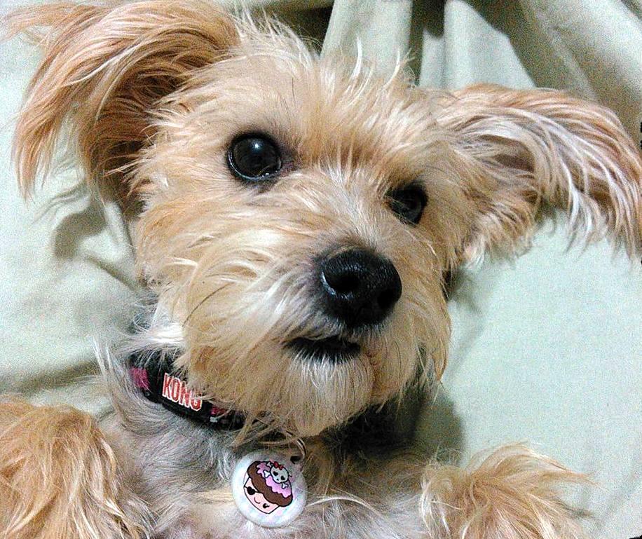 Yorkshire Terrier x Toy Poodle Australia
